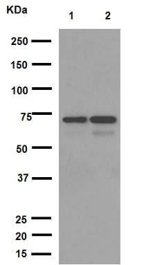 Western blot - Anti-NPR-C antibody [EPR12716] - BSA and Azide free (ab250024)