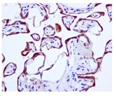 Immunohistochemistry (Formalin/PFA-fixed paraffin-embedded sections) - Anti-TIP30 antibody [EPR13179] - BSA and Azide free (ab250031)