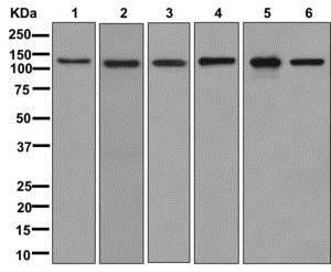 Western blot - Anti-Drebrin antibody [EPR12634] - BSA and Azide free (ab250035)