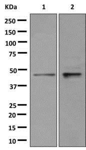 Western blot - Anti-hnRNP G-T antibody [EPR12593-14] - BSA and Azide free (ab250050)