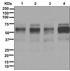 Western blot - Anti-Oct-2 antibody [EPR12482-106] - BSA and Azide free (ab250055)
