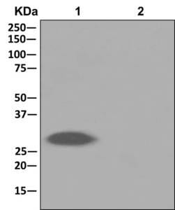 Immunoprecipitation - Anti-CHMP1a antibody [EPR11939] - BSA and Azide free (ab250060)