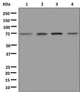 Western blot - Anti-DHX35 antibody [EPR12383] - BSA and Azide free (ab250087)