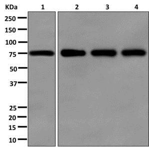 Western blot - Anti-FBXO21 antibody [EPR13163] - BSA and Azide free (ab250120)
