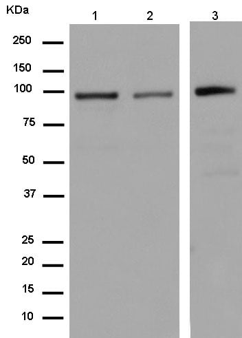 Western blot - Anti-FP100 antibody [EPR13721-22] - BSA and Azide free (ab250163)