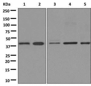 Western blot - Anti-PAR6 antibody [EPR12378] - BSA and Azide free (ab250164)