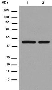 Western blot - Anti-eIF4A1 antibody [EPR14505(B)] - BSA and Azide free (ab250208)