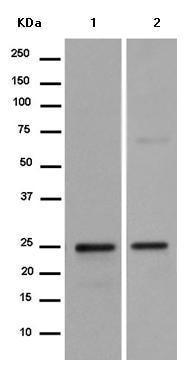 Western blot - Anti-C16orf45 antibody [EPR14087] - BSA and Azide free (ab250233)