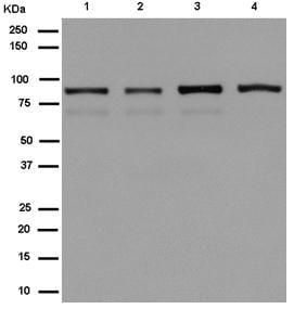 Western blot - Anti-PGBD1 antibody [EPR13883] - BSA and Azide free (ab250242)