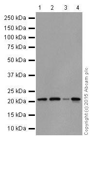 Western blot - Anti-Rac1 + Rac2 + Rac3 antibody [EPR18631] - BSA and Azide free (ab250247)