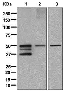 Western blot - Anti-Nogo antibody [EPR12265] - BSA and Azide free (ab250250)