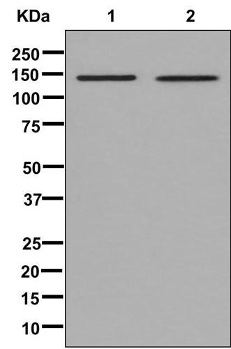 Western blot - Anti-Collagen VI alpha 2 antibody [EPR7889(N)] - BSA and Azide free (ab250255)
