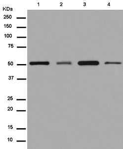 Western blot - Anti-Nuf2 antibody [EPR13019] - BSA and Azide free (ab250277)
