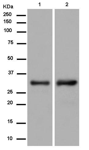 Western blot - Anti-IGFBP1 antibody [EPR14471(B)] - BSA and Azide free (ab250280)