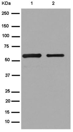 Western blot - Anti-S tag antibody [EPR12996] - BSA and Azide free (ab250286)