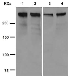 Western blot - Anti-WNK1 antibody [EPR2744(3)] - BSA and Azide free (ab250294)