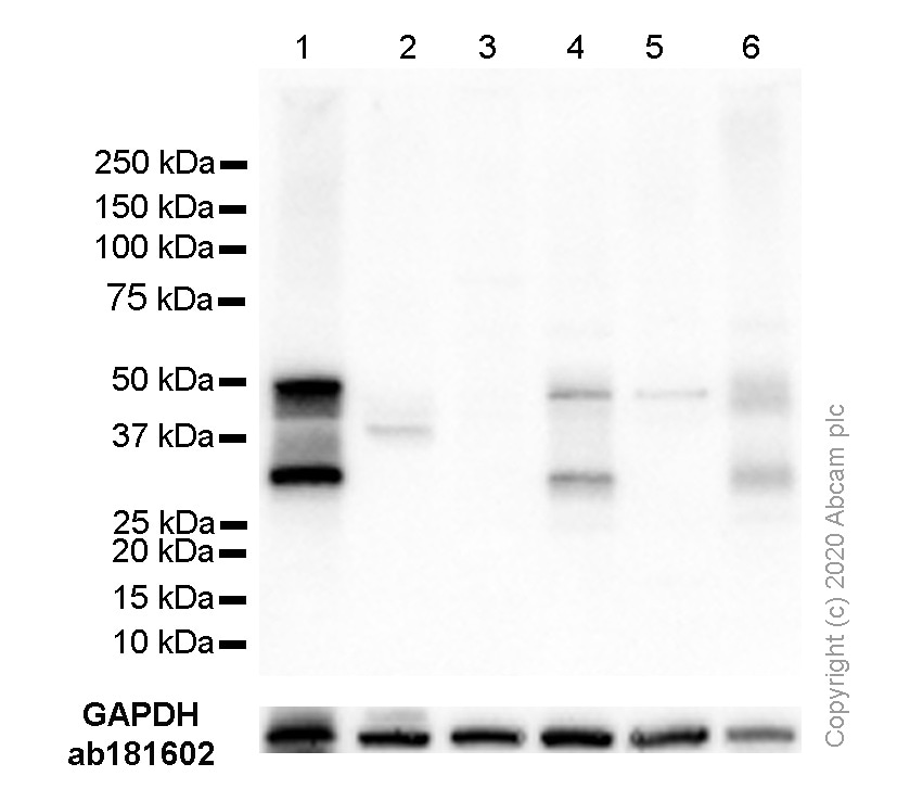 Western blot - Anti-PAX8 antibody [EPR13510] - BSA and Azide free (ab250312)