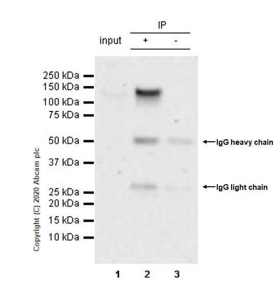 Immunoprecipitation - Anti-BRD1/BRL antibody [EPR12960] - BSA and Azide free (ab250317)