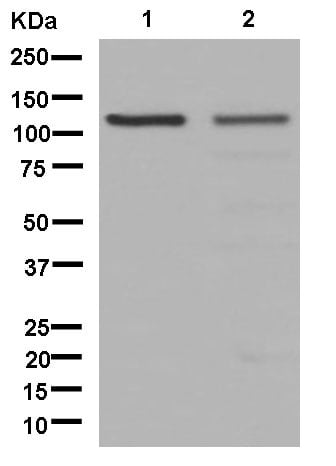 Western blot - Anti-USP4 antibody [EPR13846] - BSA and Azide free (ab250352)