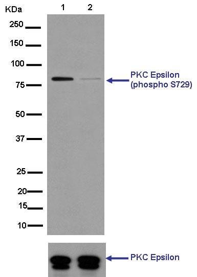 Western blot - Anti-PKC (phospho S729) antibody [EPR1483(N)] - BSA and Azide free (ab250360)