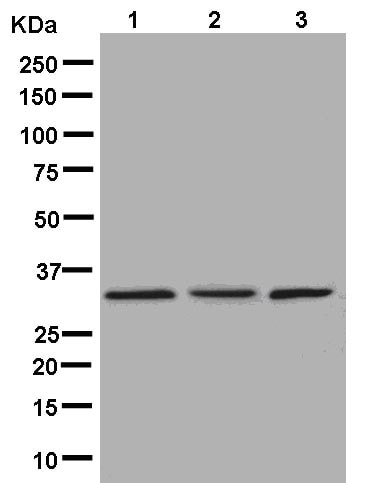 Western blot - Anti-RRP4 antibody [EPR13605] - BSA and Azide free (ab250430)