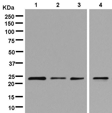 Western blot - Anti-MRRF antibody [EPR14140(B)] - BSA and Azide free (ab250439)