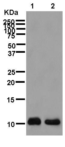 Western blot - Anti-TMEM256 antibody [EPR12842] - BSA and Azide free (ab250454)