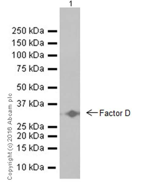 Western blot - Anti-Factor D/CFD antibody [EPR17004-285] - BSA and Azide free (ab250478)