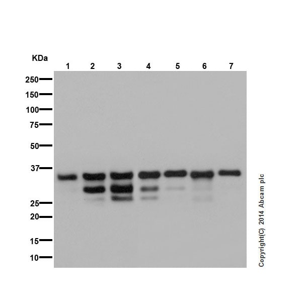 Western blot - Anti-Caspase-7 antibody [EPR17029] - BSA and Azide free (ab250510)