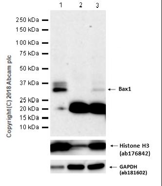 Western blot - Anti-BarX1 antibody [EPR14120] - BSA and Azide free (ab250523)