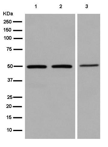 Western blot - Anti-TADA3L antibody [EPR13864] - BSA and Azide free (ab250551)