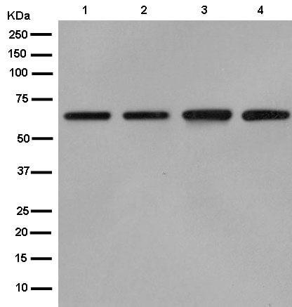 Western blot - Anti-Cdc23 antibody [EPR11828] - BSA and Azide free (ab250568)