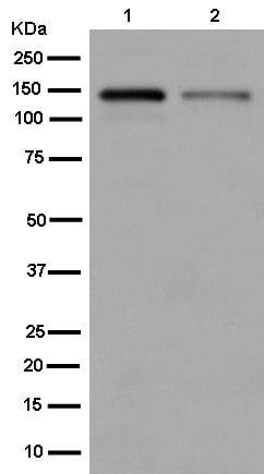 Western blot - Anti-Zonula occludens protein 3/ZO3 antibody [EPR13414-152] - BSA and Azide free (ab250601)