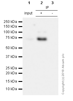 Immunoprecipitation - Anti-SOX9 antibody [EPR12755] - BSA and Azide free (ab250630)