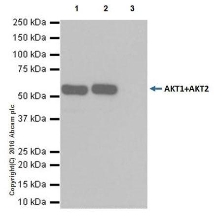 Immunoprecipitation - Anti-AKT1 + AKT2 antibody [EPR17062] - BSA and Azide free (ab250634)