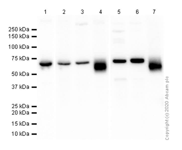 Western blot - Anti-Scc4 antibody [EPR14390] - BSA and Azide free (ab250646)