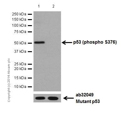 Western blot - Anti-p53 (phospho S376) antibody [EPR17730] - BSA and Azide free (ab250673)