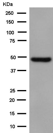Western blot - Anti-CRTAP/CASP antibody [EPR15122(B)] - BSA and Azide free (ab250694)