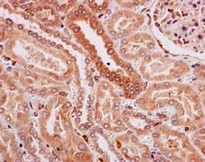 Immunohistochemistry (Formalin/PFA-fixed paraffin-embedded sections) - Anti-TMEM43 antibody [EPR15378(B)] - BSA and Azide free (ab250723)