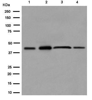 Western blot - Anti-TMEM43 antibody [EPR15378(B)] - BSA and Azide free (ab250723)