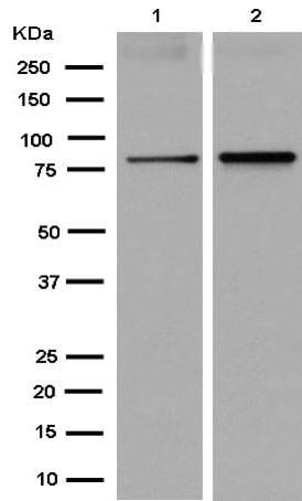 Western blot - Anti-MAD1 antibody [EPR14676] - BSA and Azide free (ab250731)