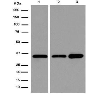 Western blot - Anti-TCEA1 antibody [EPR14820(B)] - BSA and Azide free (ab250735)