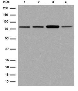 Western blot - Anti-MAD1 antibody [EPR14676-23] - BSA and Azide free (ab250761)