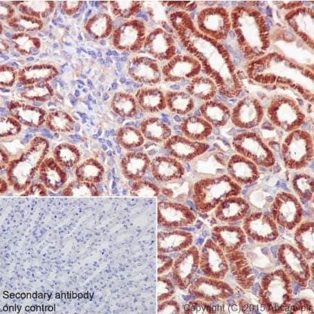 Immunohistochemistry (Formalin/PFA-fixed paraffin-embedded sections) - Anti-PKC alpha + beta 2 + gamma antibody [EPR18104] - BSA and Azide free (ab250778)