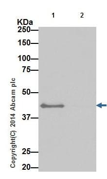 Immunoprecipitation - Anti-Bcl G/BCL2L14 antibody [EPR17666] - BSA and Azide free (ab250782)