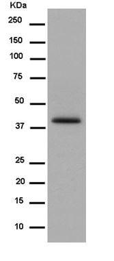 Western blot - Anti-Tuftelin 1 antibody [EPR13960] - BSA and Azide free (ab250787)