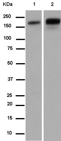 Western blot - Anti-Carboxypeptidase D/CPD antibody [EPR14811] - BSA and Azide free (ab250801)