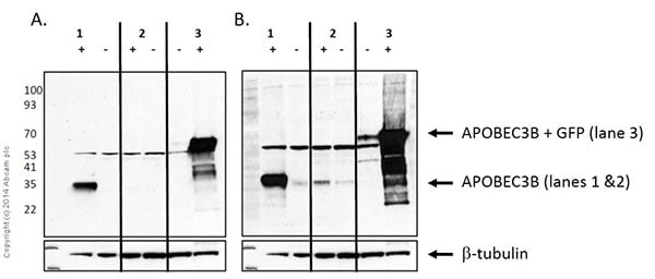 Western blot - Anti-APOBEC3B antibody [EPR18138] - BSA and Azide free (ab250804)