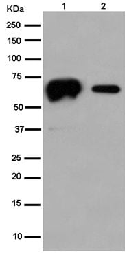 Western blot - Anti-Calsequestrin 1 antibody [EPR15226(B)] - BSA and Azide free (ab250819)