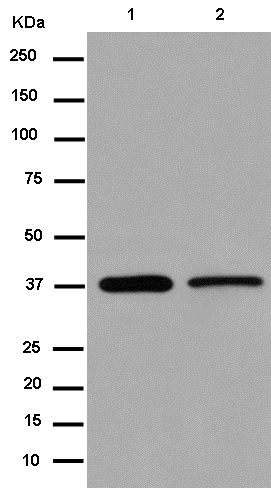 Western blot - Anti-TFEC antibody [EPR14871] - BSA and Azide free (ab250824)